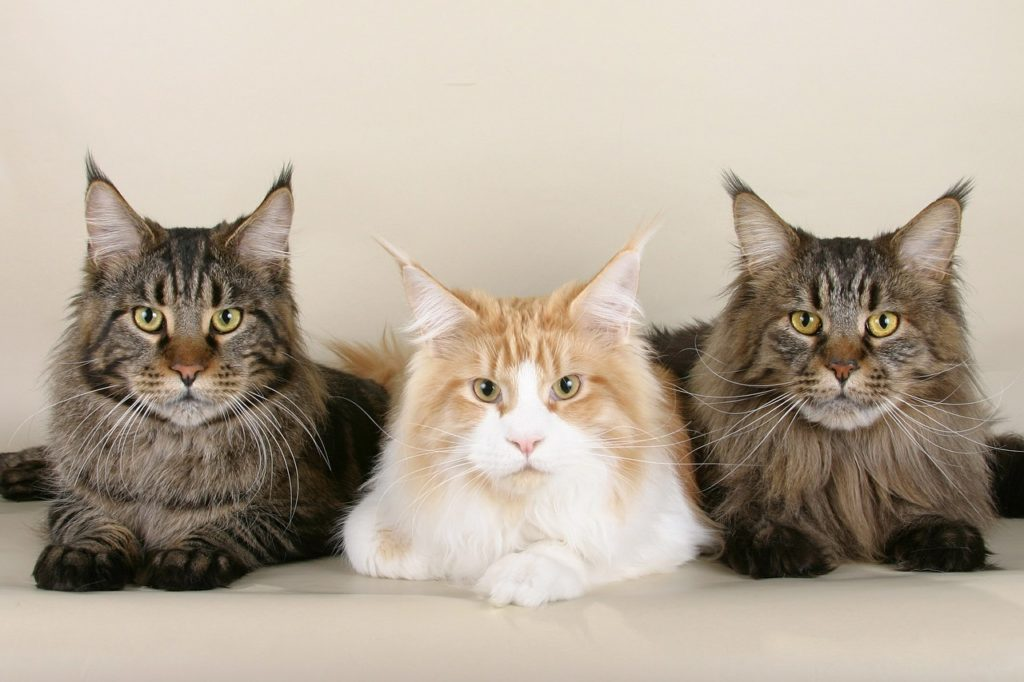 3 chats Maine Coon adultes