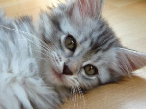 Chaton Maine Coon gris