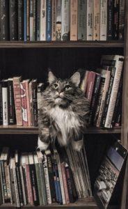 Chat Maine Coon caché dans une bibliothèque