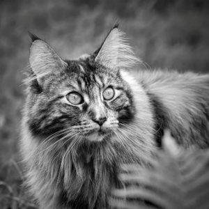 Chat main coon adulte