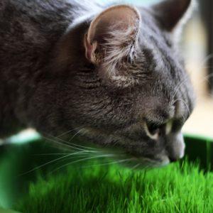 Herbe à chat pour aider le chat à se purger