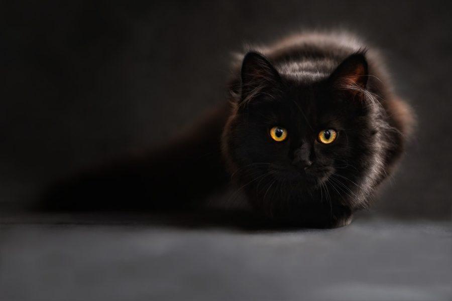 Chat maine coon brun tabby noir