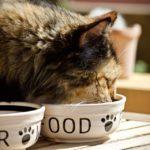 Chat qui mange des croquettes dans sa gamelle