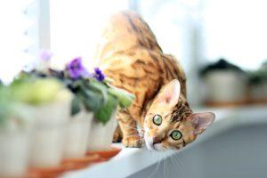 Le Bengal, la race de chats au pelage de tigre