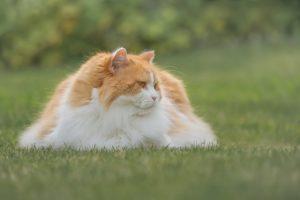 Chat roux et blanc British Longhair