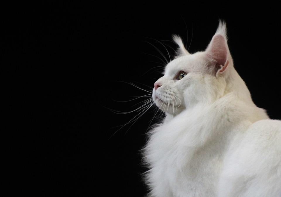 Chat Maine Coon de couleur blanche
