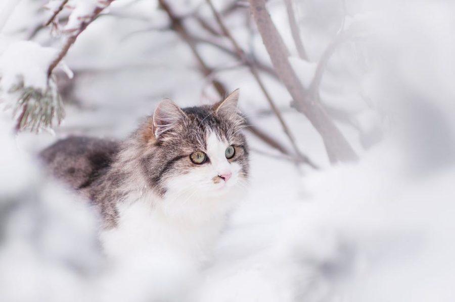 Chat sibérien adulte à poil long