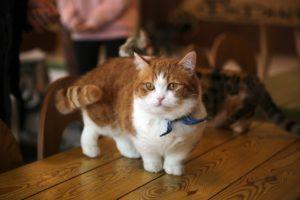 Le Munchkin, la race de chats aux pattes courtes