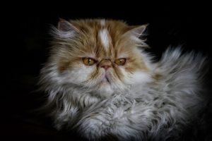 Le Persan, la race de chats a la tête aplatie