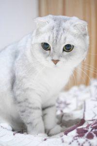Le Scottish Fold, le chat aux petites oreilles pliées