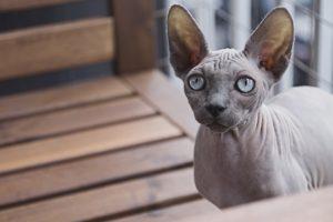 Le sphynx, une race de chats sans poil