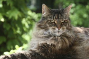 Chat adulte Maine Coon
