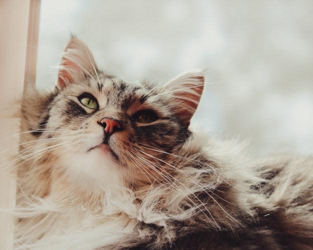 Chat adulte Maine Coon prenant le soleil