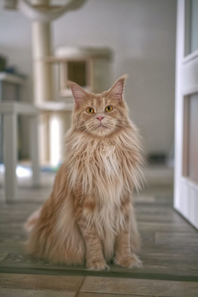 Chat Maine Coon adulte roux