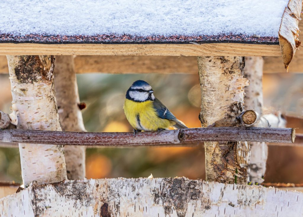 Les oiseaux du jardin : une mésange dans sa maisonnette