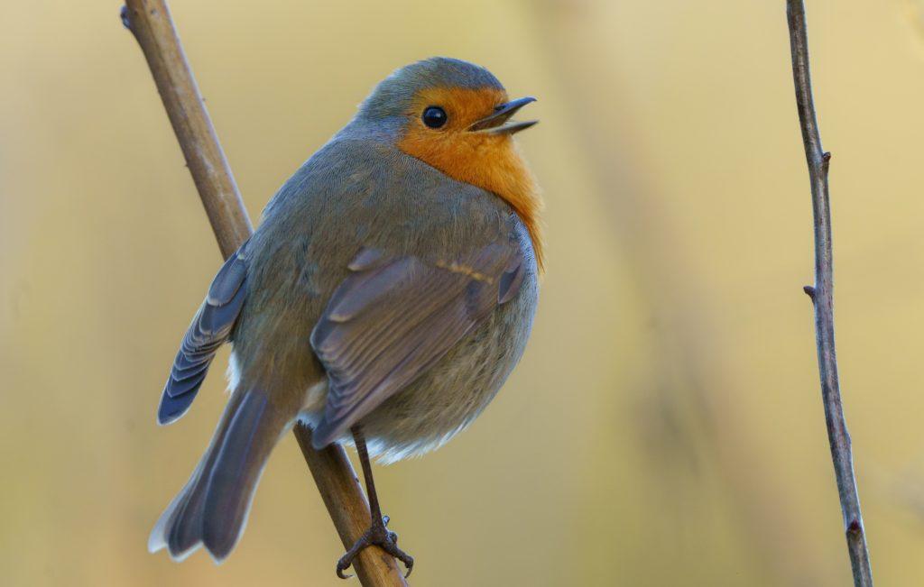 Les oiseaux du jardin : un rouge-gorge sur sa branche